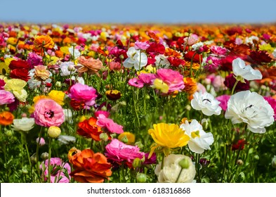 Colorful Ranunculus fields in Carlsbad, California, USA