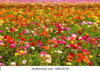 Colorful Ranunculus fields in Carlsbad, California, USA