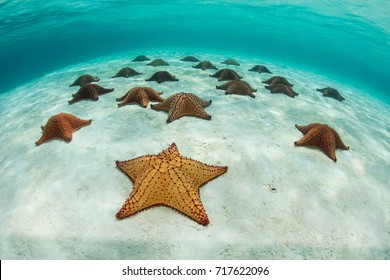 Colorful Red cushion sea stars (Oreaster reticulatus) lie on a shallow sandy seafloor off the coast of Belize in the Caribbean Sea.