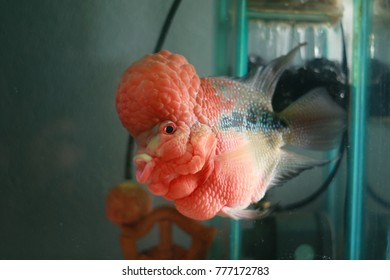 Colorful red fish flowerhorn Cichlids.