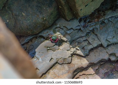 Colorful red and green crab under the sun, in the crevice of a tide pool cliff at low tide.