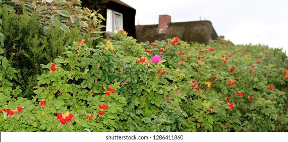 colorful red green rose hedges and rose hips in sylt germany in summer spring