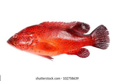 Colorful red grouper fish on white background