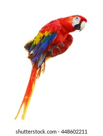Colorful red parrot macaw isolated on white background
