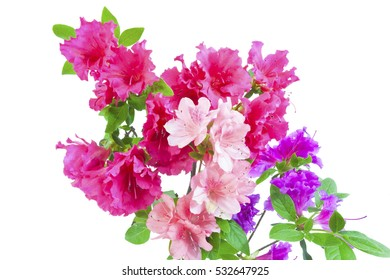 Colorful red, pink, and purple azalea blossoms. Isolated on white. Horizontal.
