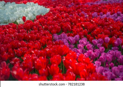 Colorful red, pink and white tulips at a famous tulips park during tulips festival in Istanbul, Turkey.