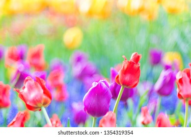 Colorful red, purple tulips in foreground and yellow tulips blurred background using shallow depth of field