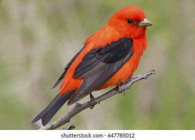 Colorful Red Scarlet Tanager bird in the forest