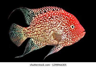 The colorful of red Texas cichlid on isolated black background. It is a hybrid and is not present in the wild. It is believed to be a cross between a Flowerhorn cichlid and a Texas cichlid.