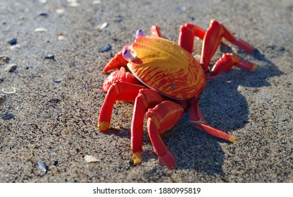 Colorful red toy crab on a sandy beach, close-up. Baltic sea, Latvia. Childhood, educational toys, science, biology concepts