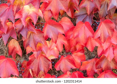 colorful red wild grape leaves textured background