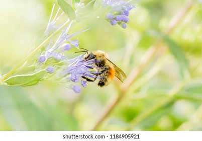 A Colorful Red, Yellow & Black, Bumble Bee (Bombus huntii) With Large Eyes Searches for Pollen in a Cultivated Plant in Colorado