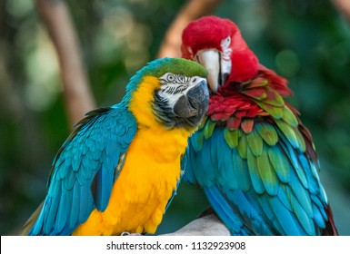 Colorful red, yellow and blue macaws in Parque das Aves (Birds Park) in Foz do Iguacu, Parana State, South Brazil