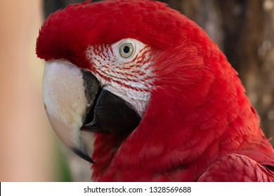 Colorful red, yellow and blue macaws in Parque das Aves (Birds Park) n the city of Foz do Iguaçu, close to the Iguazu Falls, Parana State,the South Region of Brazil.