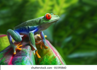 A colorful Red-Eyed Tree Frog in its tropical setting.