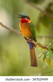Colorful Red-throated Bee-eater Merops bulocki frenatus with opened beak,  perching on branch at the tropical forest, Africa, Uganda, March. Green distant background.