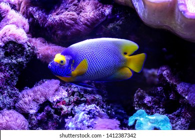 Colorful reef fish in Aquarium. Pomacanthus xanthometopon, the blueface angelfish or the yellowface angelfish from  Indo-Pacific