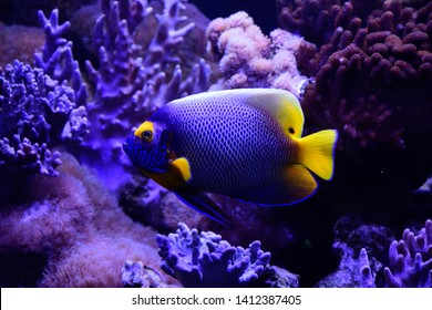 Colorful reef fish in Aquarium. Pomacanthus xanthometopon, theblueface angelfishor theyellowface angelfish from  Indo-Pacific