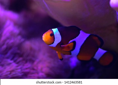Colorful reef fish. Ocellaris clownfish, Amphiprion ocellaris, also known as the false percula clownfish or common clownfish
