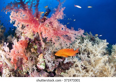 Colorful reef with jewel grouper, Red Sea, Egypt