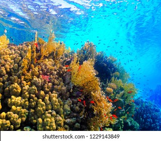 Colorful reef in the shallow tropical sea. Red fish (Anthias), orange and yellow corals with blue sea background. Snorkeling in the tropical paradise ocean with school of fish.
