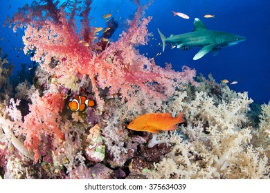 Colorful reef with shark and grouper, Red Sea, Egypt