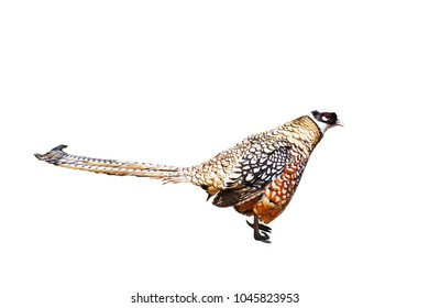 A Colorful Reeves's Pheasant (Syrmaticus Reevesii), Isolated / Die Cut on White Background with Clipping Path or Selection Path Included.
