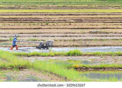 Colorful of Rice Field with Farmer is Plowing by Tractor.