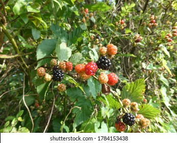 Colorful ripening fruits from an Alleghany Blackberry (Rubus allegheniensis) vine.