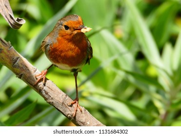 Colorful Robin Redbreast bird (Erithacus rubecula) perched on a twig with bread in its beak