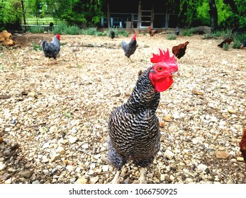 Colorful rooster on the farm