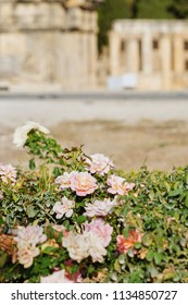 Colorful Rose Garden and Blurred Background of Ancient Ruin of Hierapolis (Holy City) over Pamukkale Mountain in Turkey, Top Tourist Destination