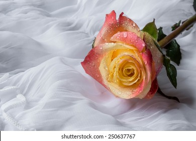 Colorful rose with water drops - white background