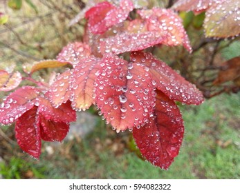 Colorful rosebush leaves adorned with morning dew.
