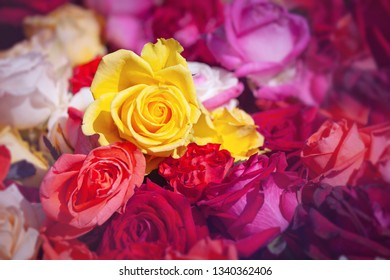 Colorful roses flower background with yellow in middle