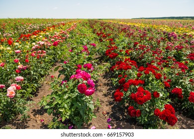 colorful roses on summer farm field