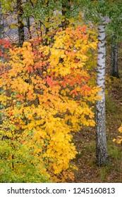 Colorful rowan foliage at park cloudy day