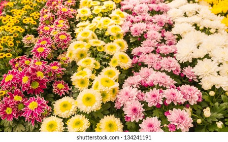 Colorful rows of beautiful blooming Potmums in a Dutch flower nursery.