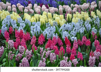 Colorful rows of spring hyacinth flowers