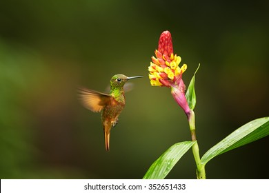 Colorful rufous and shining green hummingbird Boissonneaua matthewsii Chestnut-breasted Coronet hovering next to red bromeliad flower, outstretched wings. Blurred green background. Ecuador,San Isidro.