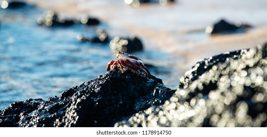 Colorful Sally Lightfoot Crab perched on rock with the ocean in the background in the Galapagos Islands (Ecuador)