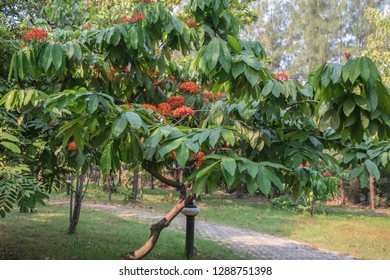 Colorful Saraca asoca Saraca indica Linn or Ashoka flowers blossom.Also known as Ashok or simply Asoca,Asoka tree.