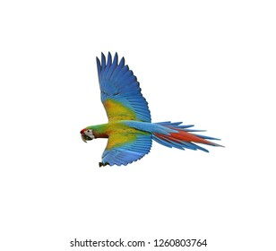 Colorful scarlet macaw (Ara macao) flying with red yellow and blue shades  Isolated On White Background, exotic details us Clipping Path