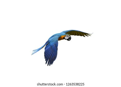 Colorful scarlet macaw (Ara macao) flying yellow and blue shades isolated On White Background, exotic details us Clipping Path