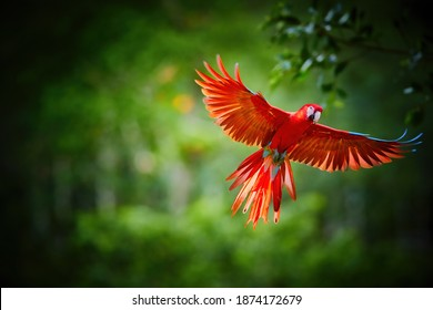 Colorful Scarlet Macaw parrot, flying directly at camera. Bright red and blue South American parrot, Ara macao, flying with outstretched  wings. Dark green rain fores background. Peru, Amazon basin.