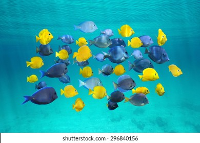 Colorful school of tropical fish, blue tang fish (yellow are juvenile), below water surface, Caribbean sea