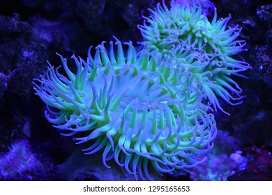 Colorful Sea Anemones