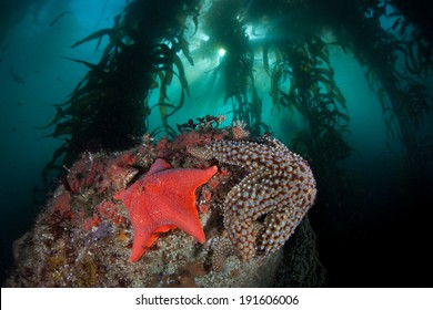 Colorful sea stars cling to the rocky bottom of a kelp forest growing off the coast of Northern California.