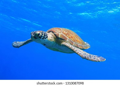 Colorful sea turtle swimming in the blue ocean. Underwater photography from snorkeling with the turtle. Aquatic wildlife in the water. Scuba diving with marine animal.