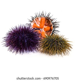 Colorful Sea Urchins